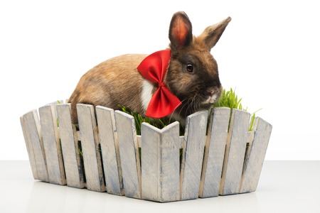 Cute little brown bunny wearing a red bow tie and sitting in white pot with grass Stock Photo