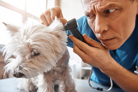 I have to be very attentive. Serious middle aged vet is checking dogs ear while working at veterinary clinic
