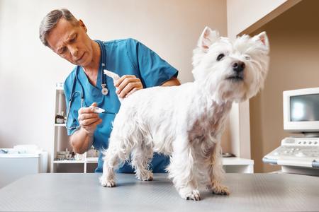 Tomará unos minutos ... Un veterinario de mediana edad con ropa de trabajo mide la temperatura corporal de un lindo perro pequeño en una clínica veterinaria Foto de archivo