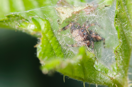 Juping Spider behind a spider web Stock Photo