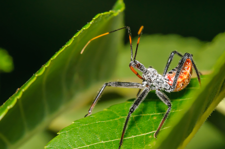 Assassin Bug on a Green Leaf Stock Photo