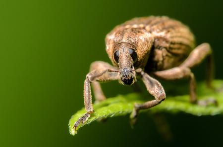 Weevil Beetle on a green leaf