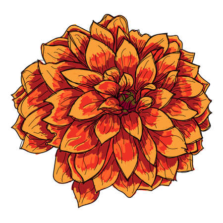 Dahlia is a genus of bushy, tuberous, herbaceous perennial plants native to Mexico and Central America. Ilustrace