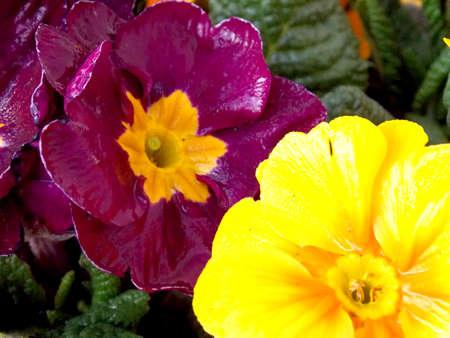 primula: Two primula detail - purple and yellow