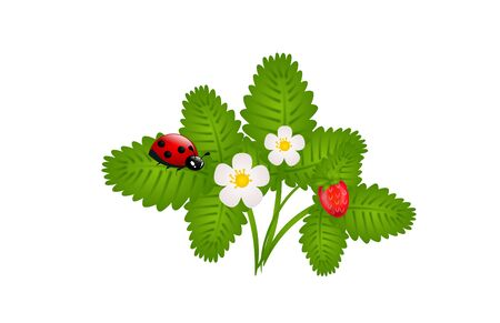 wild strawberry: Illustration of small bush of wild strawberry with ladybug on leaf