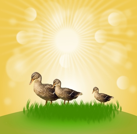 Three ducks on grass with sunshine background photo