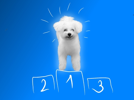 small white dog: Blue background with small white dog as winner Stock Photo