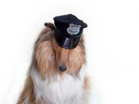 sloping: Collie dog with sloping head on white background Stock Photo