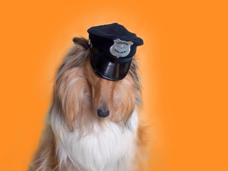 unsatisfactory: Collie dog with sloping head on orange background Stock Photo