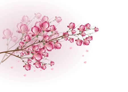 magnolia tree: Illustration of twig of tree with pink blossom of magnolia on white background