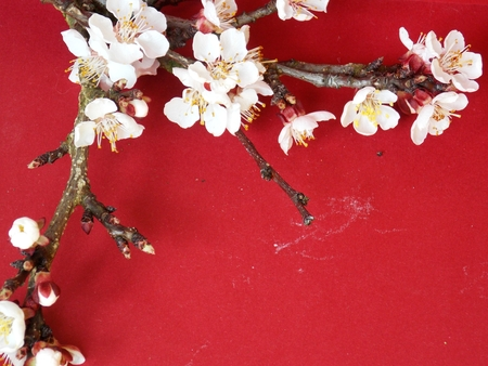 white blossom: Red background with white blossom tree twig