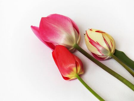 annealed: Photo of colorful pink tulips flowers on white Stock Photo