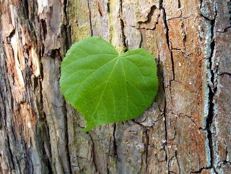 limetree: Green leaf of linden on peel of old tree