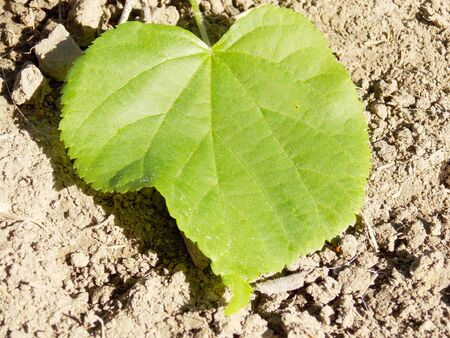 limetree: Photo of green leaf of linden on ground Stock Photo