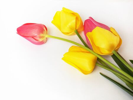annealed: Photo of colorful pink and yellow tulips flowers on white