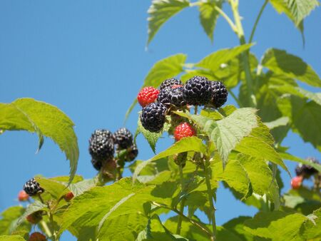 riped: Photo detail of blackberry on twig with leaves