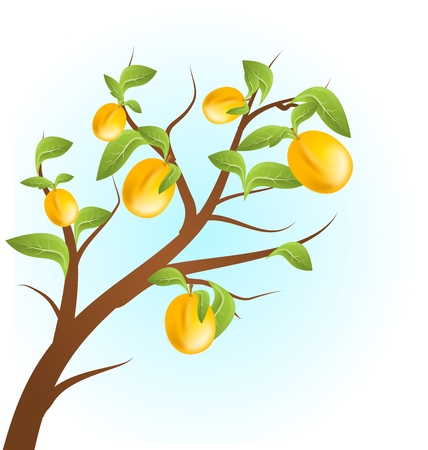 apricots: Illustration of apricots tree on white background