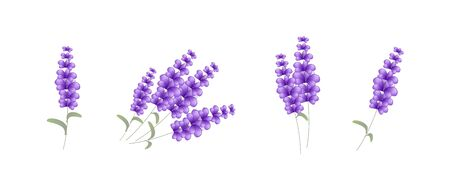 Set of four lavender illustration on white background