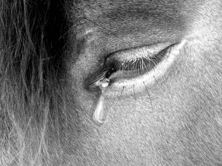 Sad photography of horse eye with teardrop
