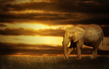 Photo manipulation of elephant in sunset landscape Stock Photo