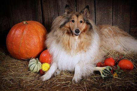 Photo of collie dog with decoration autumn pumpkins