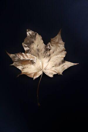 Gooden maple leaf on black background photo