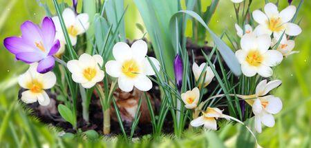 Photo of spring flowers crocus on grass Zdjęcie Seryjne