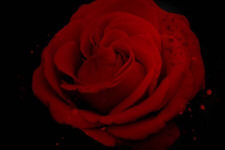 Red rose flower blossom on black background
