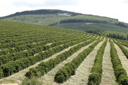 View farm with coffee plantation