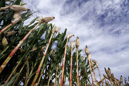 alimentation: Corn crop. Brazilian farm with corn planting days of sunshine and blue sky.