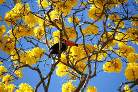 Bird toucan perched on yellow ipe tree branch. Ramphastos dicolorus. Red-breasted Toucan.