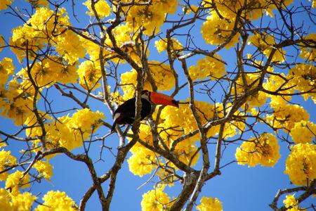 Bird toucan perched on yellow ipe tree branch. Ramphastos dicolorus. Red-breasted Toucan. Banco de Imagens - 84790140