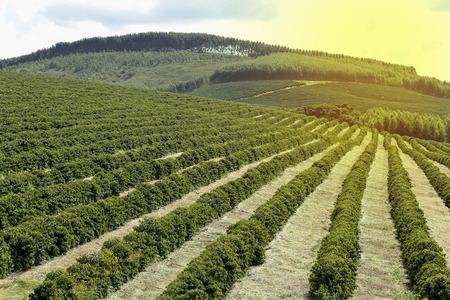 View farm with coffee plantation in Brazil