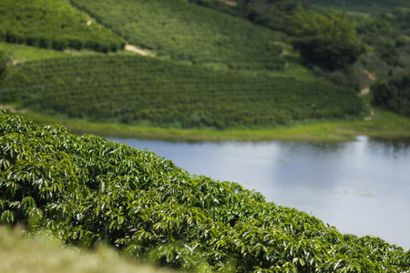 View farm with coffee plantation tillage 스톡 콘텐츠