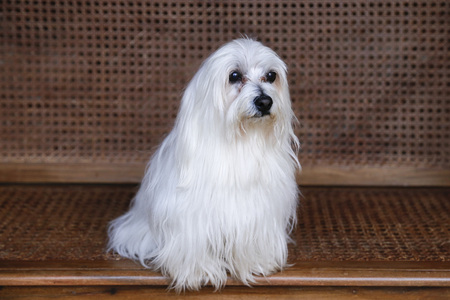 Young male Maltese male white dog with long hairs sitting pensively on wooden surface
