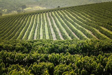 Farm coffee plantation in Brazil - View farm with coffee plantation - Brazilian coffee bean production - Cafe do Brasil Banco de Imagens