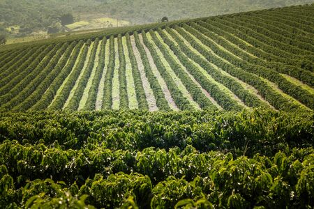 Farm Kaffeeplantage in Brasilien - Ansicht Farm mit Kaffeeplantage - Brasilianische Kaffeebohnenproduktion - Cafe do Brasil Standard-Bild