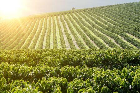 Visualizza fattoria con piantagione di caffè - Piantagione di caffè agricola in Brasile - Cafe do Brasil