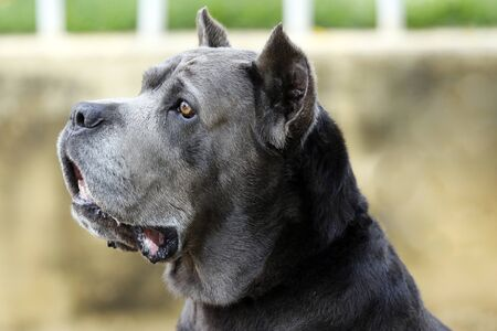 Dog of the Cane Corso race of adult age in haughty pose Reklamní fotografie
