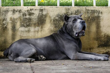 Dog of the Cane Corso race of adult age in haughty pose Stock Photo