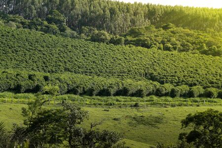 View farm with coffee plantation - Farm coffee plantation in Brazil - Cafe do Brasil Imagens - 136453111