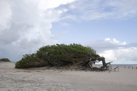 tourist attraction laziness tree in Jericoacoara, Ceara, northeastern Brazil - Tourist destinations in Brazil