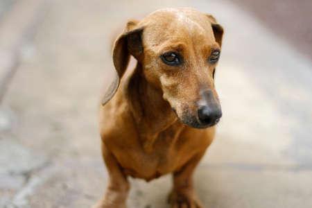 brown dachshund mascot dog portrait