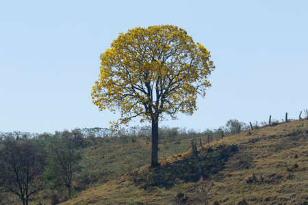 flowering yellow ipe tree in clear day on the mountain Imagens