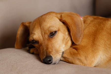 small animal dachshund puppy lying and quiet in yellow color and mixed breed