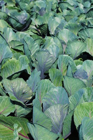 cabbage patch: Cabbage Field