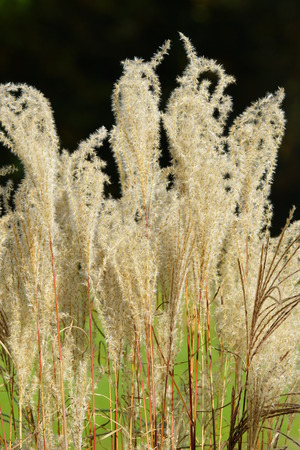 pampas: American Pampas Grass