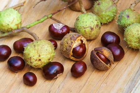 fagaceae: Chestnuts