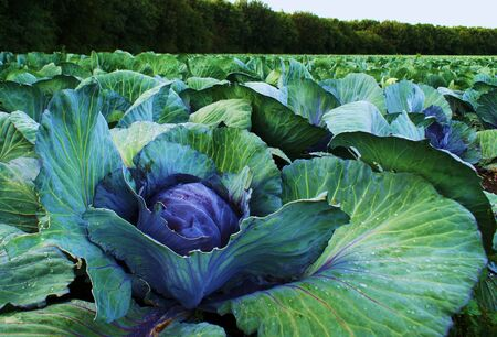 cabbage patch: Cabbages