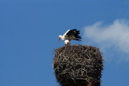 flue season: Cig�e�as blancas en el nido
